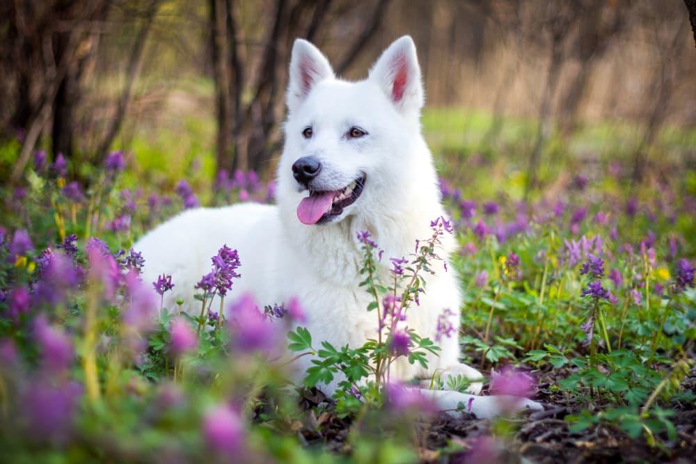 Dog in a beautiful field of purple flowers