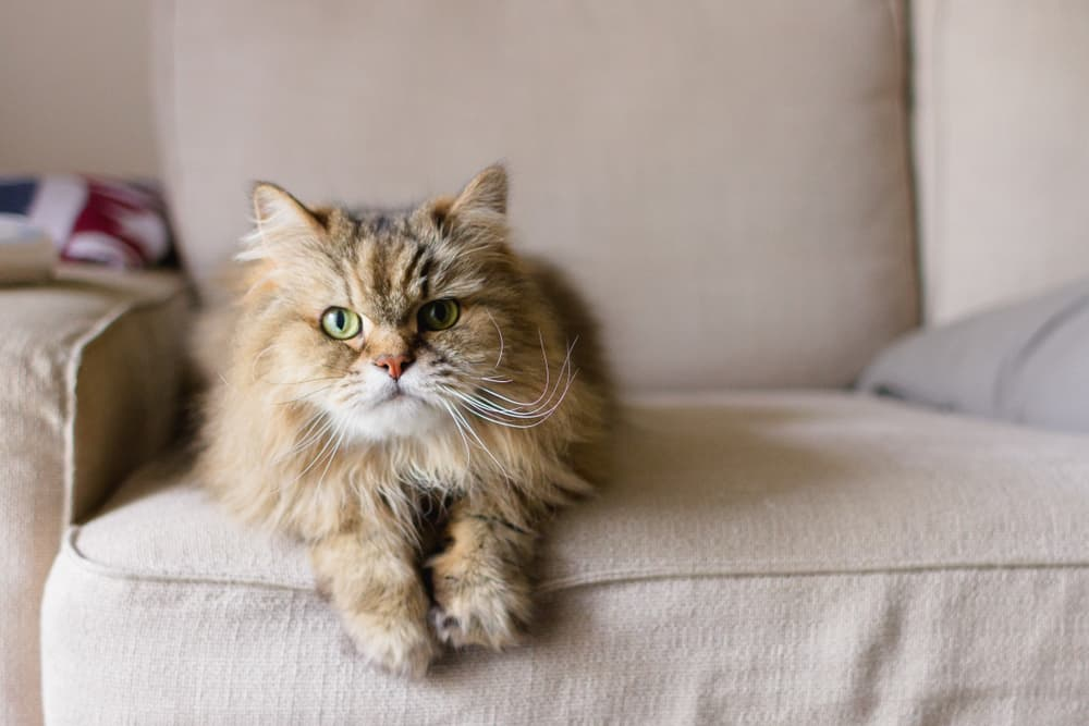 Large long haired cat sitting on couch