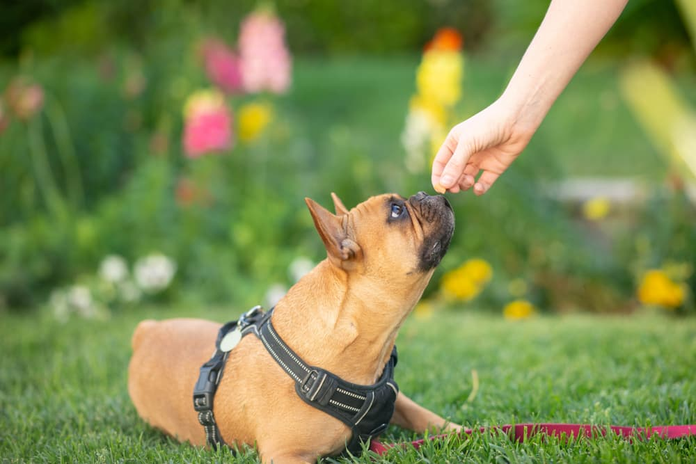 French Bulldog puppy getting a treat positive reinforcement