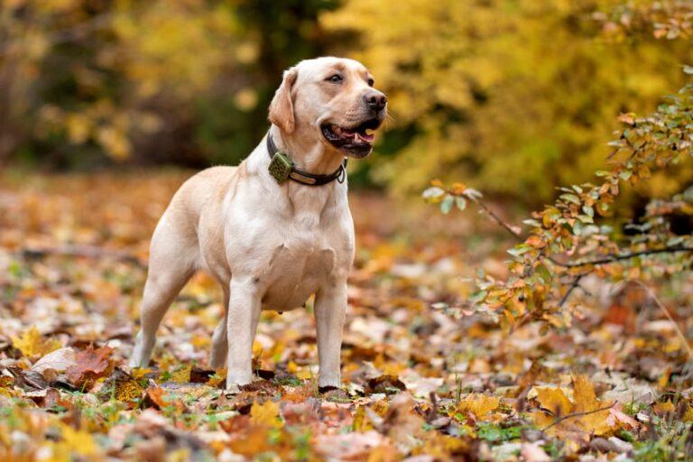 Dog tracker collar outdoors walking