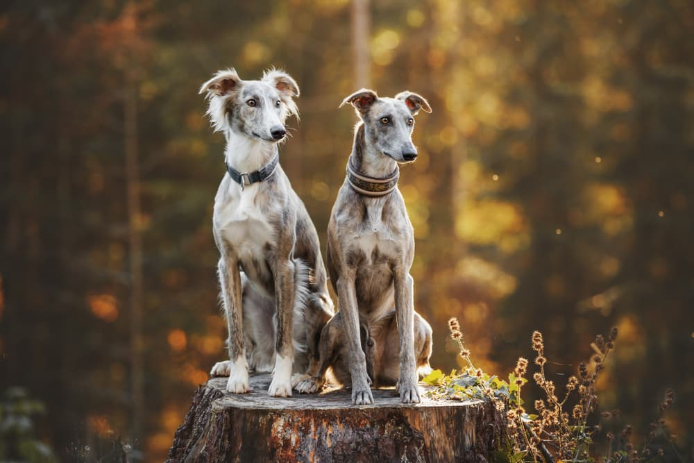 Two greyhound dogs sitting ini the woods on a tree stump