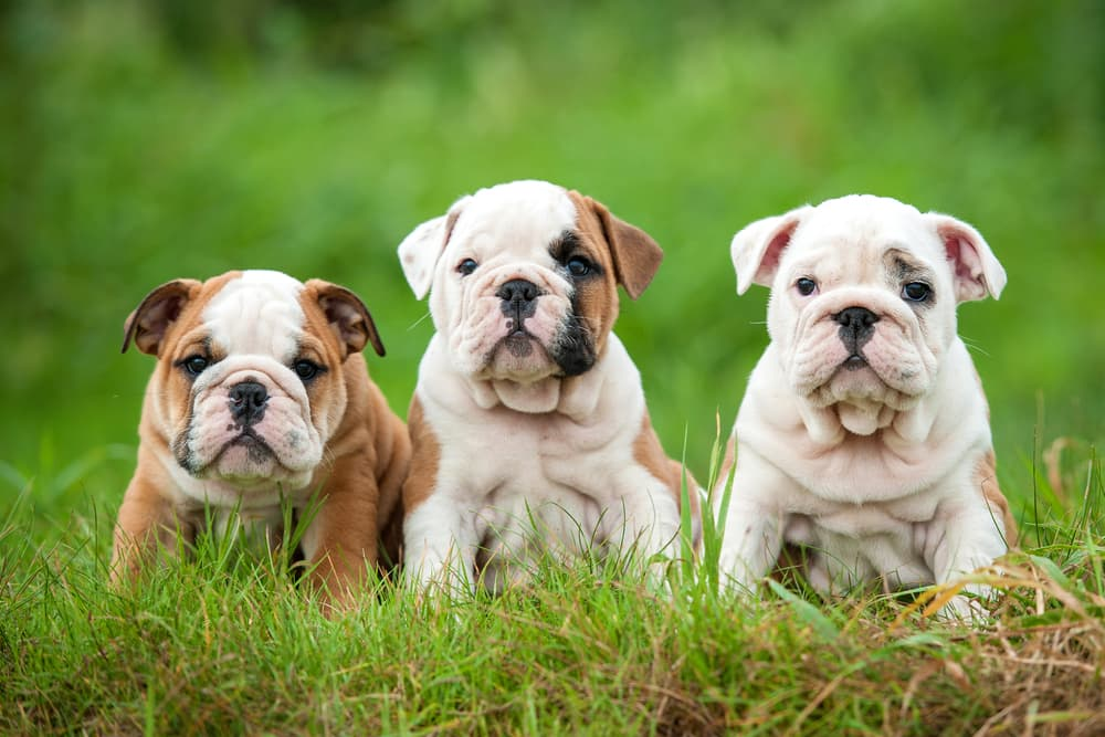 Several English Bulldog puppies outdoors