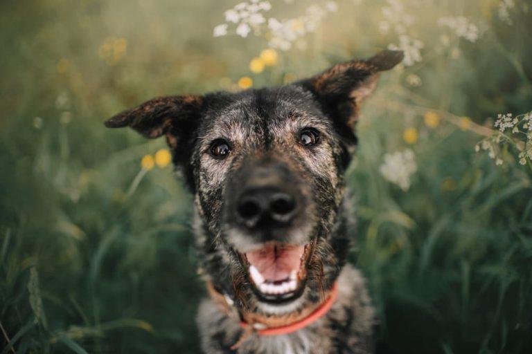 Senior dog smiling