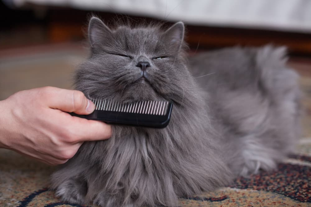 Owner brushing cat with wide tooth comb