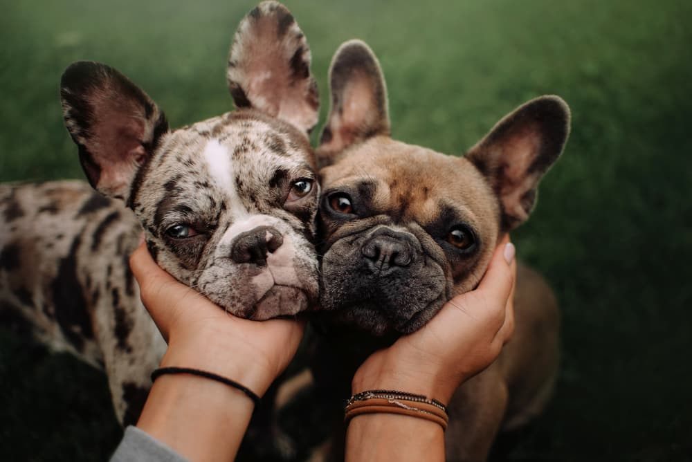 Two cute dogs with face smushed together