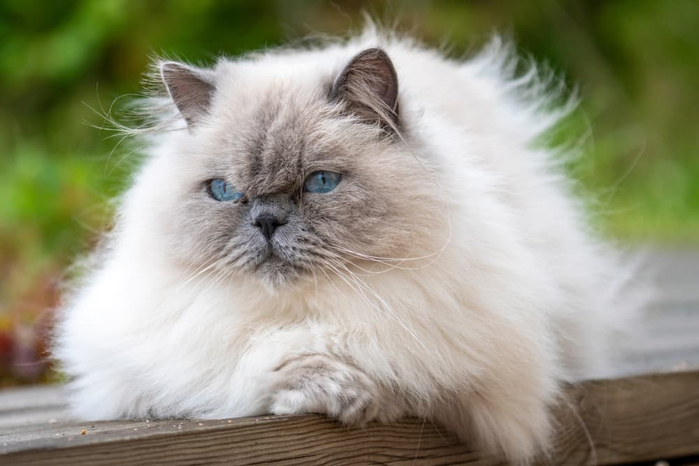 Large ragdoll cat sitting on bench outdoors with matted cat hair
