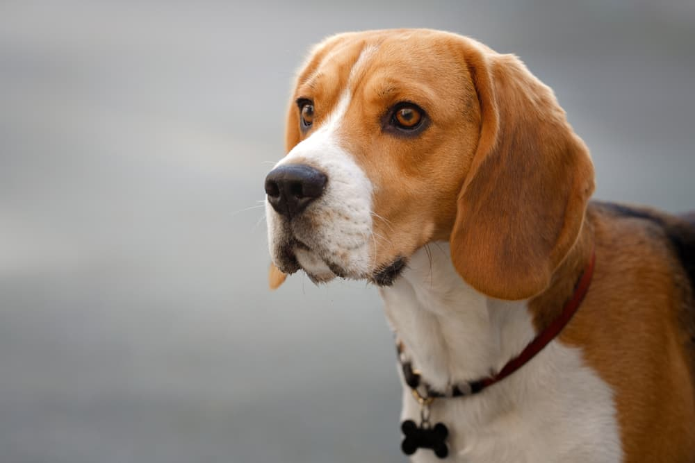 Beagle dog looking up and confused