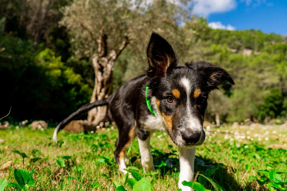 Dog Dry Nose: Causes and How to Help