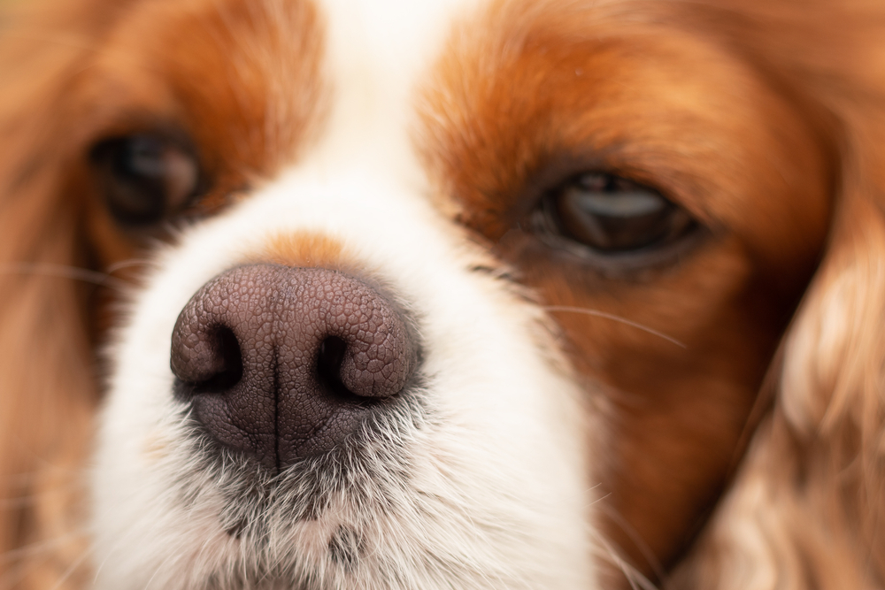 Close up image of a dog's nose that is dry