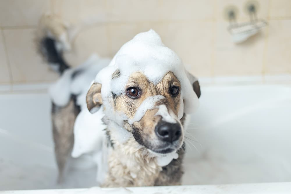 Dog in the bath covered with shampoo