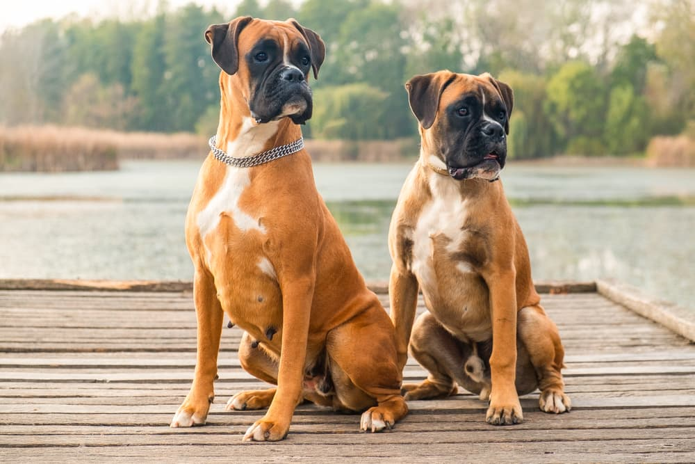 Two Boxer dogs sitting on the dock by a lake