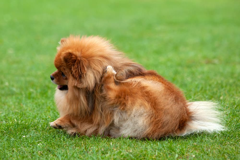 Dog scratching behind its ear on the grass