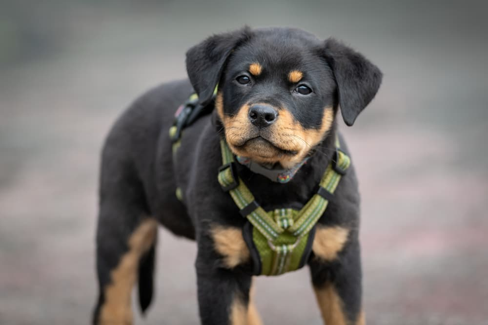 Puppy wearing a no-pull harness