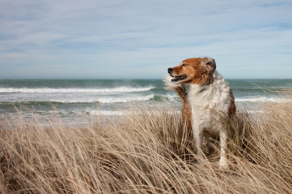 Dog standing on a windy beach
