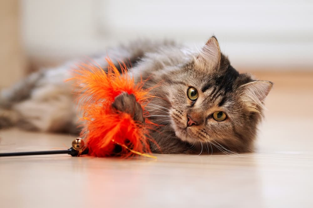 Cat playing with the toy