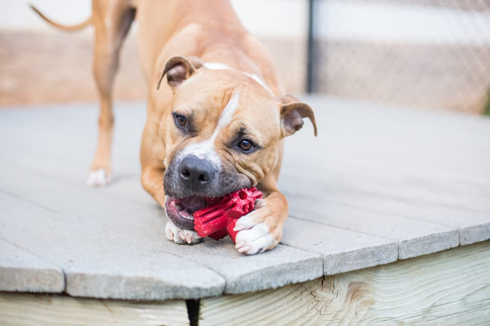 Dog chewing on side of toy and gnawing on it