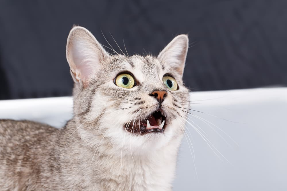 Surprising cat teeth facts with the face of surprised looking cat