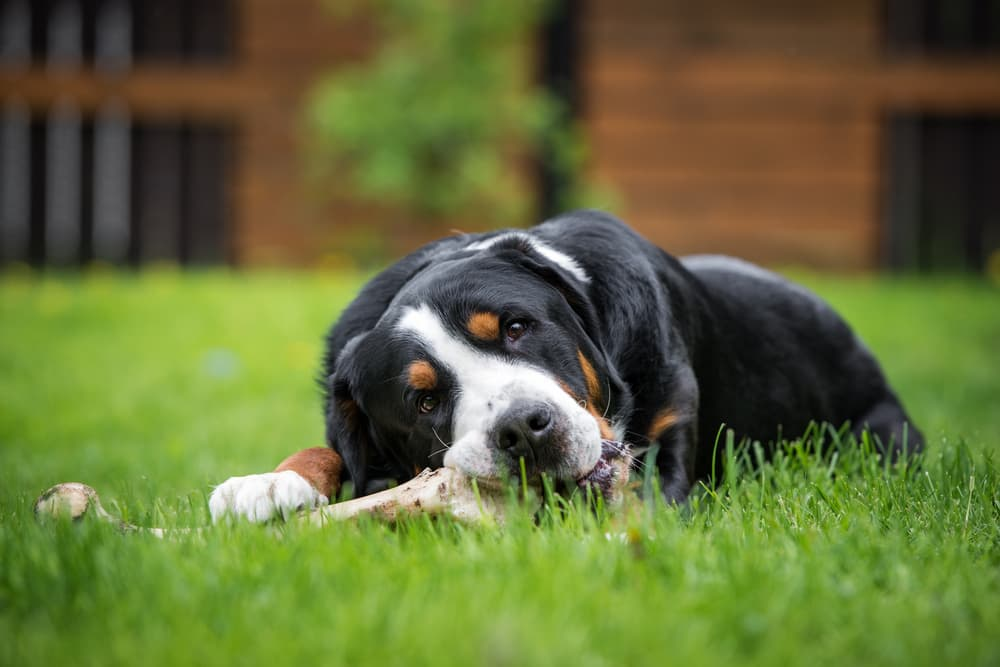 Dog laying in the grass eating a bone