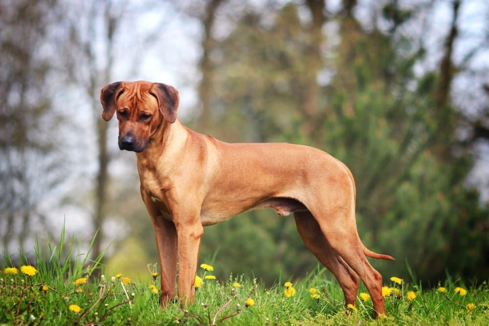 Rhodesian Ridgeback puppy outdoorsf