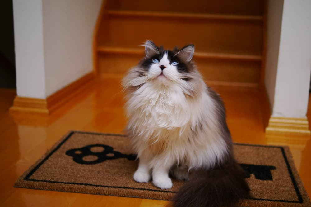Large rag doll cat sitting in house waiting to be groomed