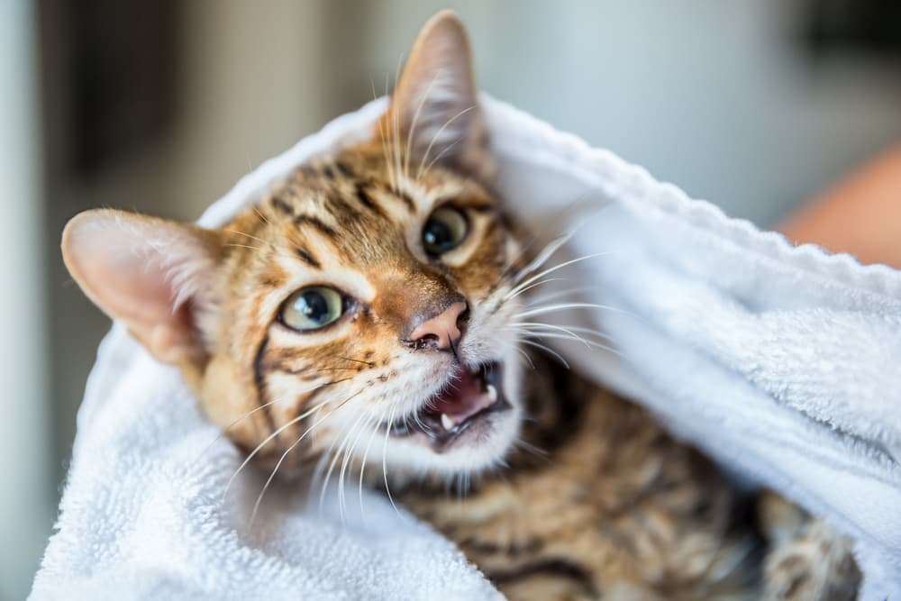Cat open mouth being held by owner in a towel