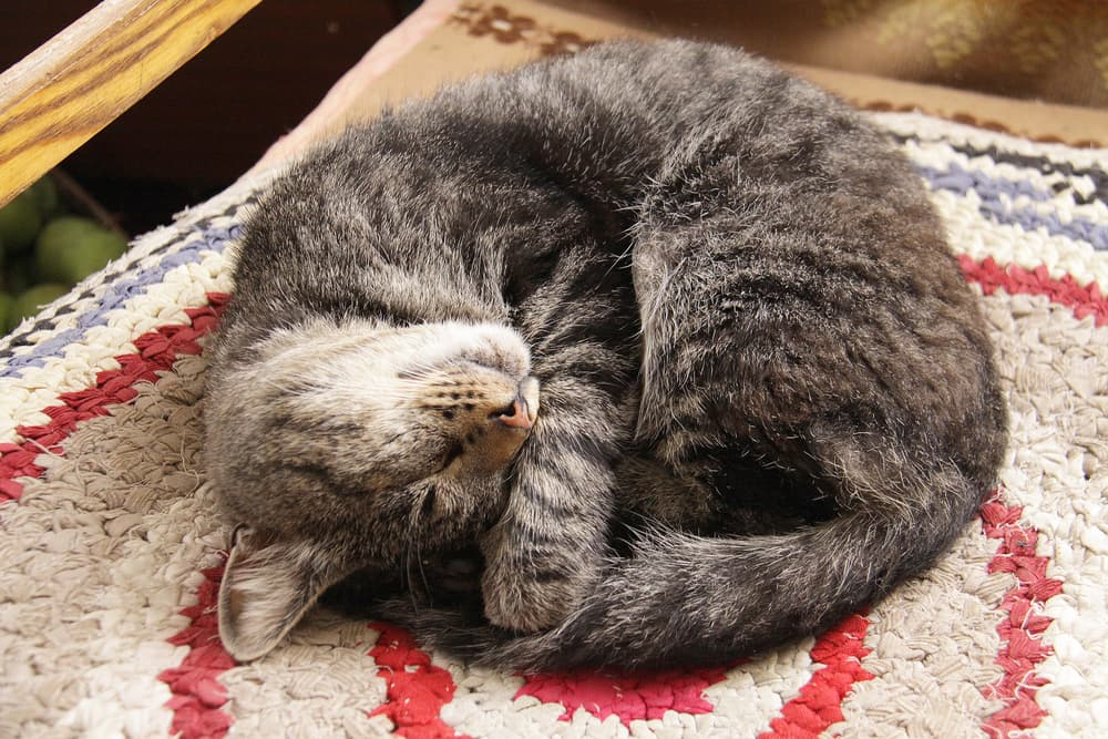 Cat curled on the ground on a rug