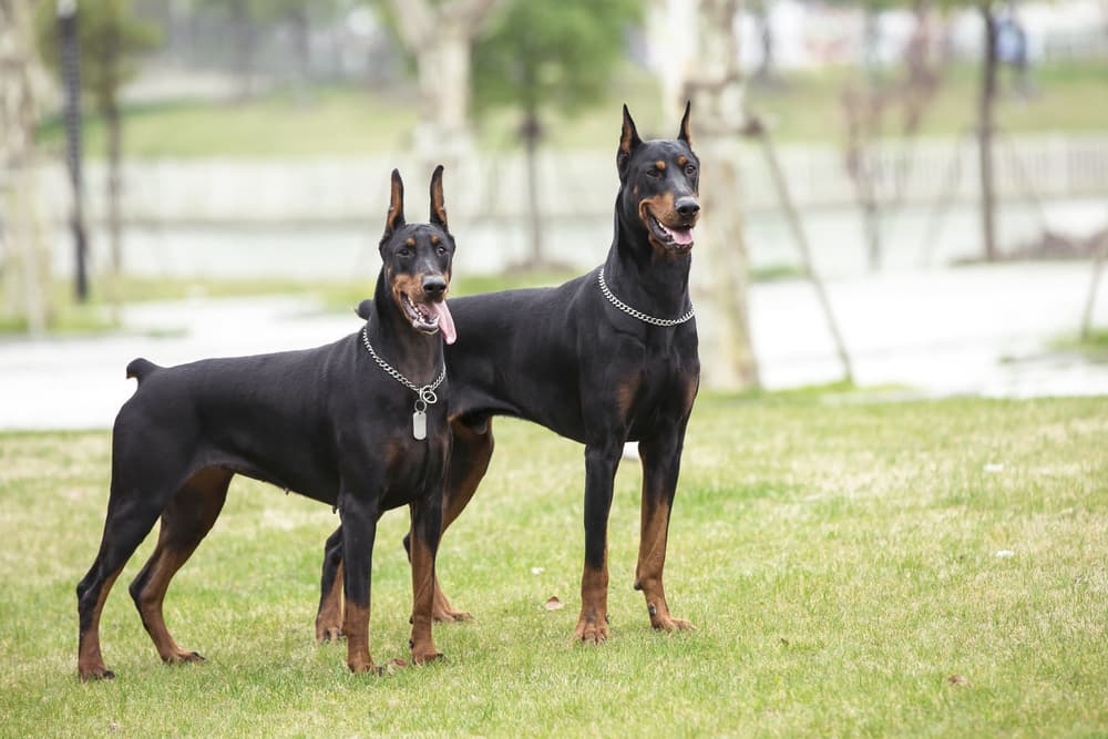 Two Doberman Pinschers in the park