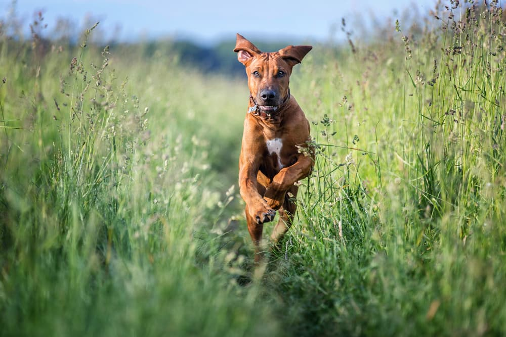 Healthy dog running in a field