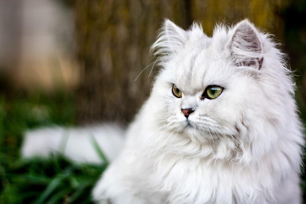 Persian cat looking away from camera outdoors