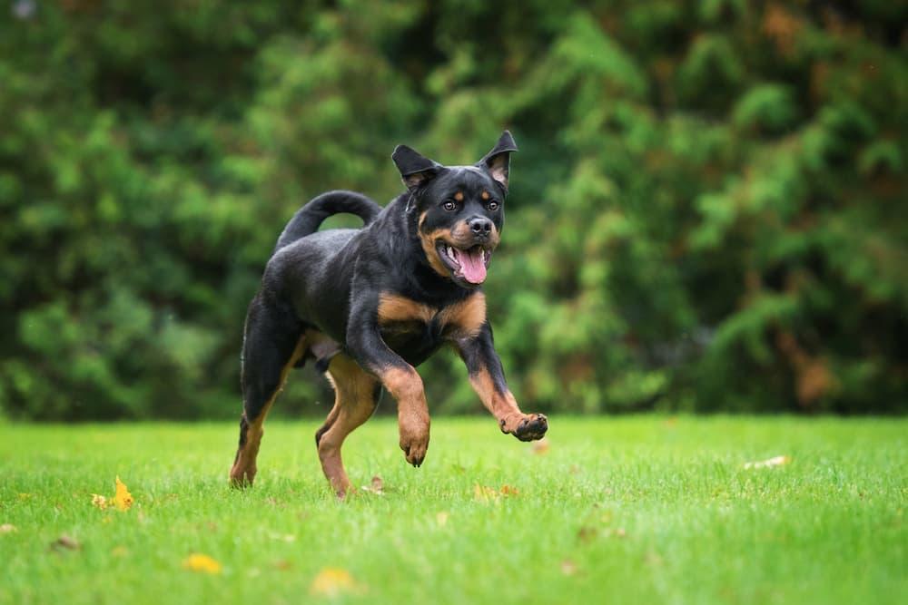 Rottweiler running in the field