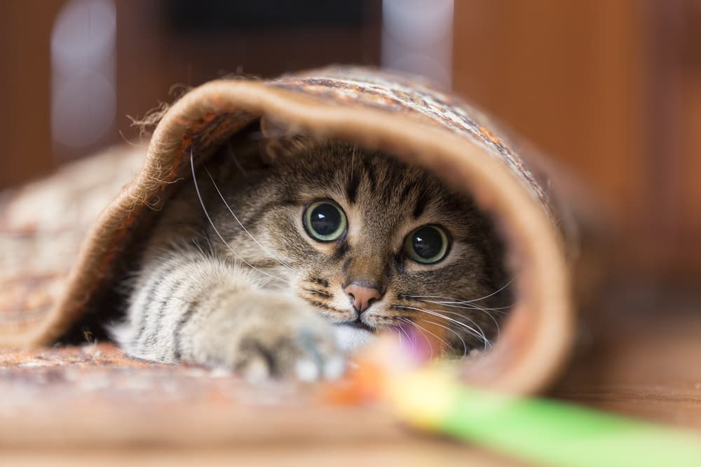 Cat hiding in the carpet while playing with toys