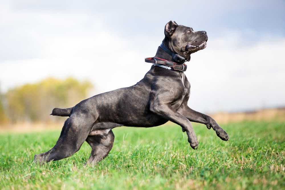Cane Corso leaping in the field