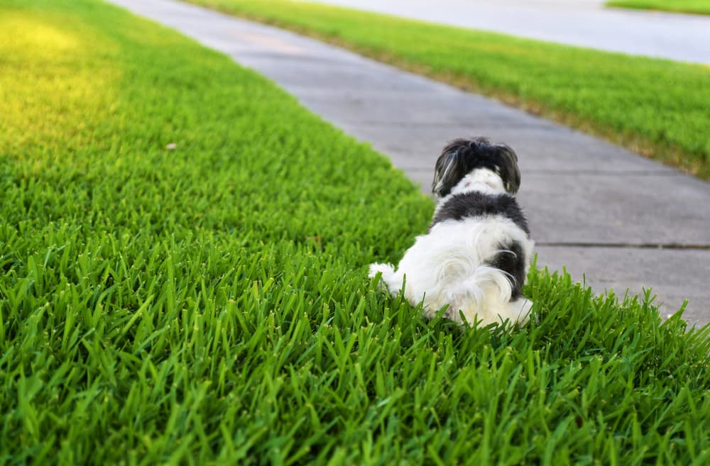 dog going to the bathroom on grass