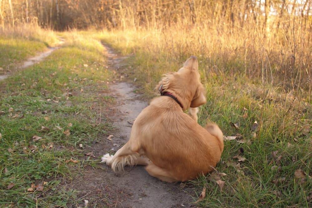 dog scratches his ear while sitting on apath outside