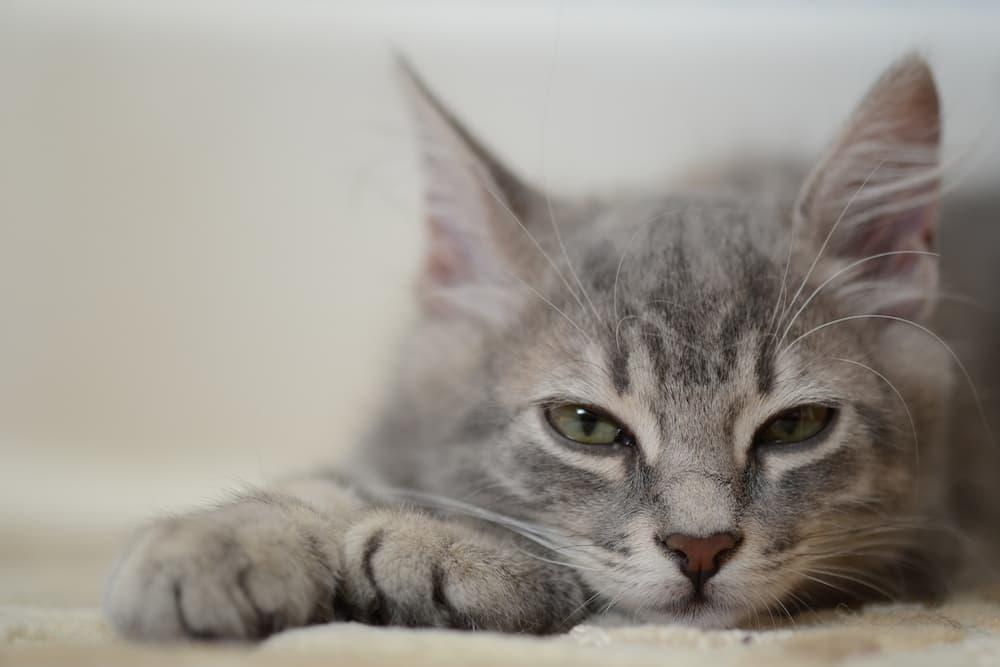 Grey kitten laying down sleepy missed dose