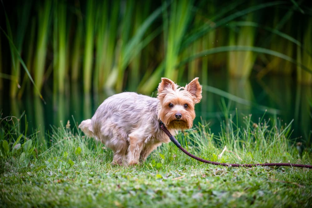 Yorkshire Terrier Relieving himself