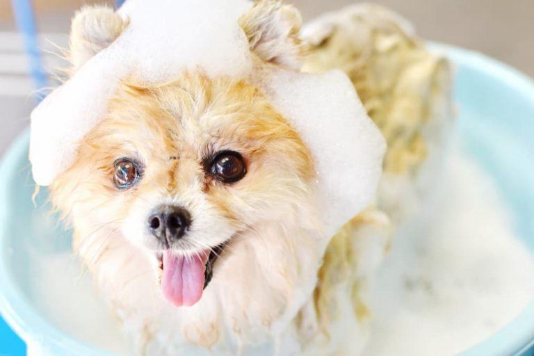 Pomeranian puppy bathing with bubbles of shampoo on head