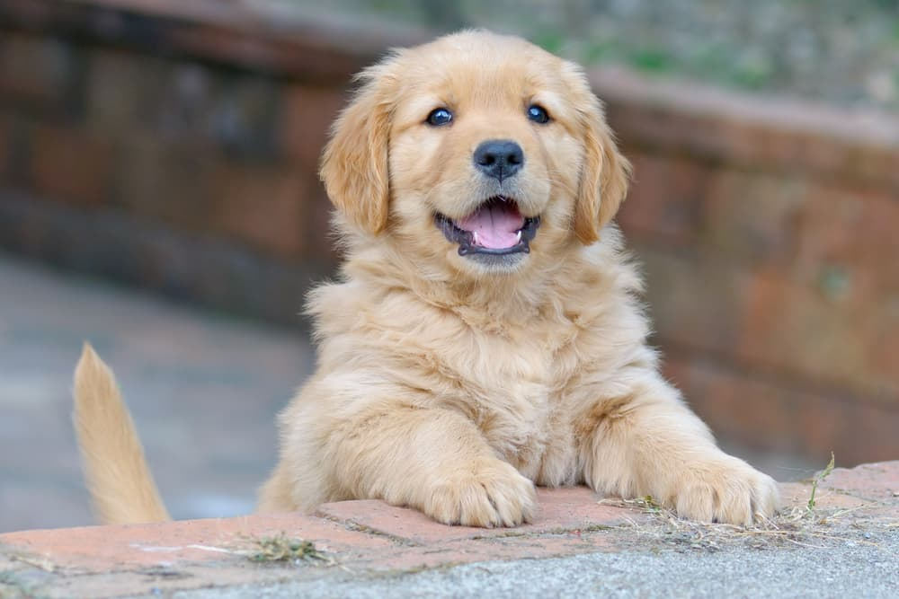 cute puppy dog smiling looking at owner