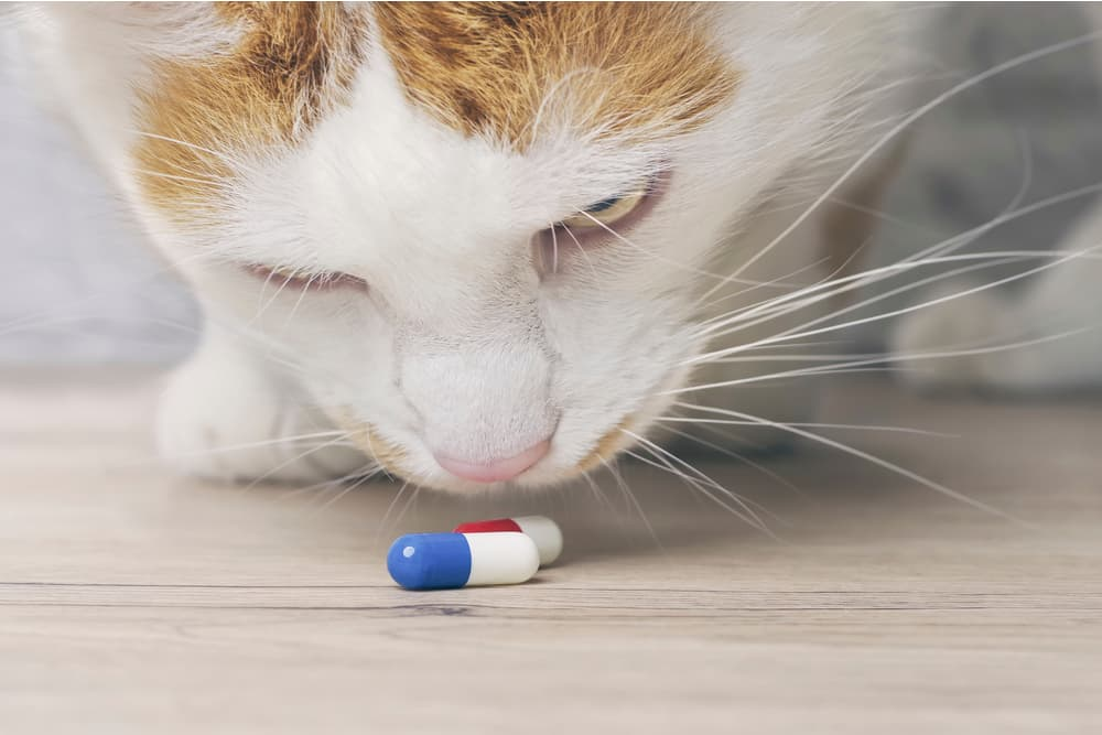 Close up of cat with blue pill capsule