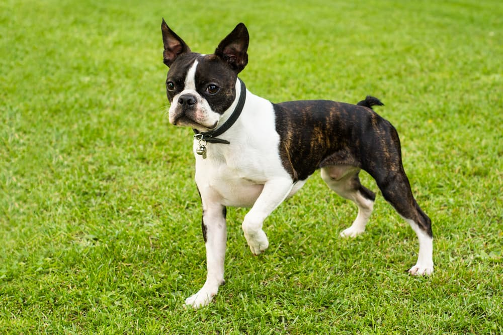 Boston Terrier on the grass with paw held up