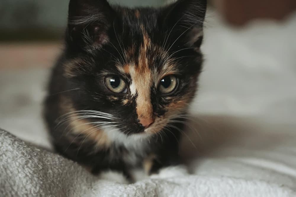 Curious anxious brown tabby kitten portrait