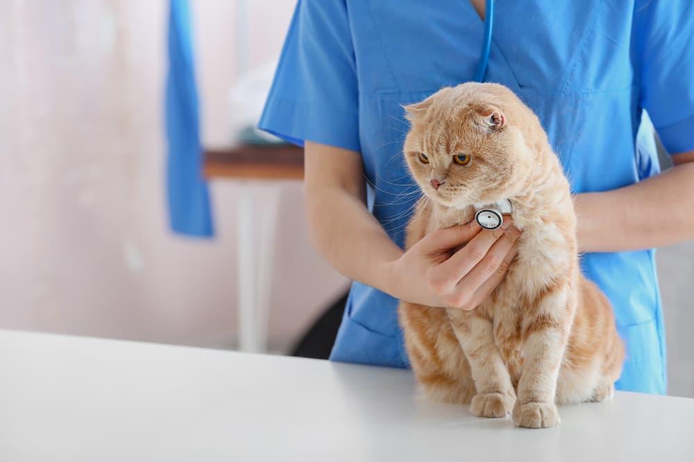 Veterinarian examining cute cat in clinic