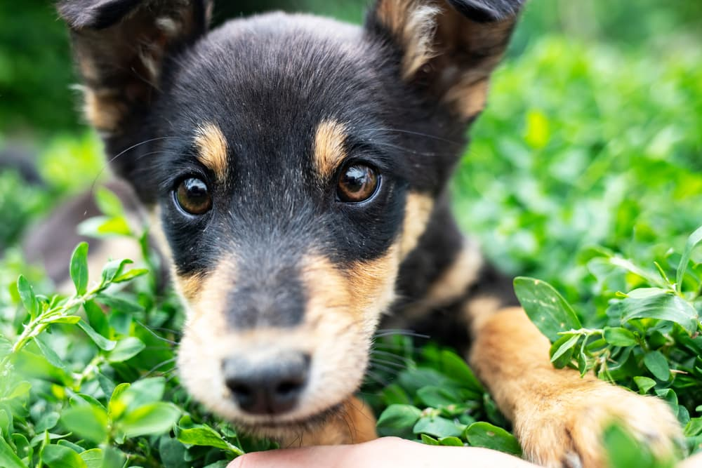 Cute puppy laying in the grass