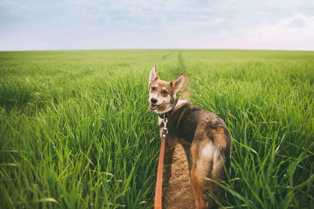 Dog walking in a field about to do a yellow dog poop
