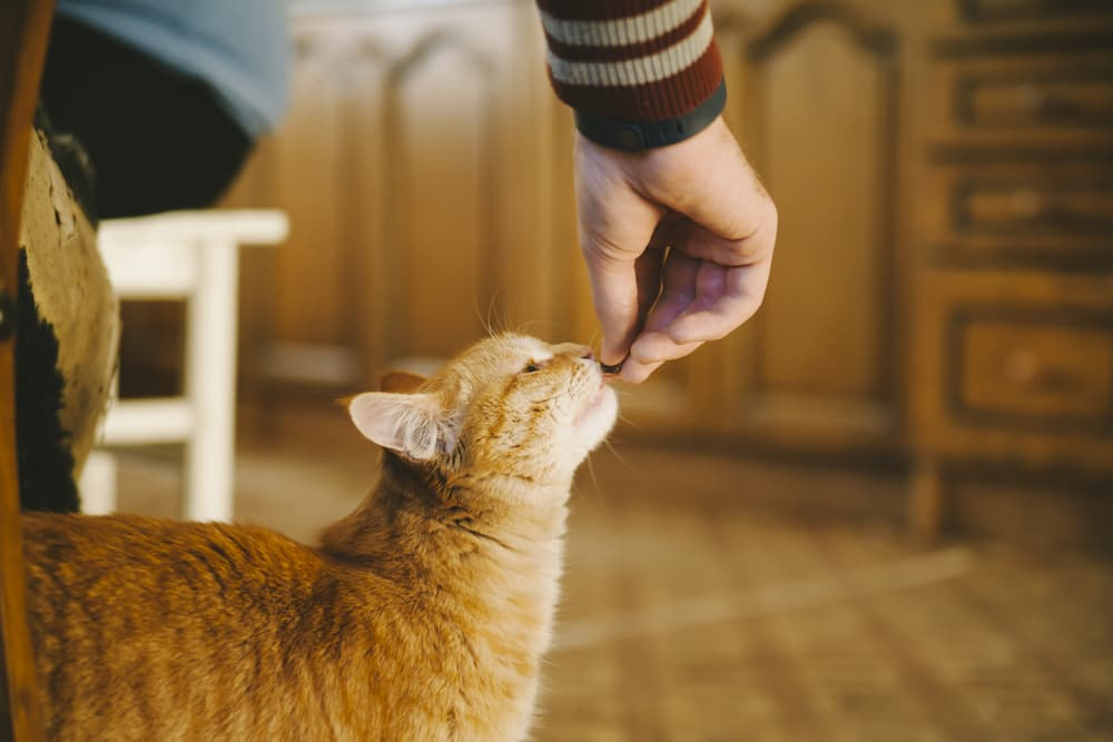 Cat being fed a treat