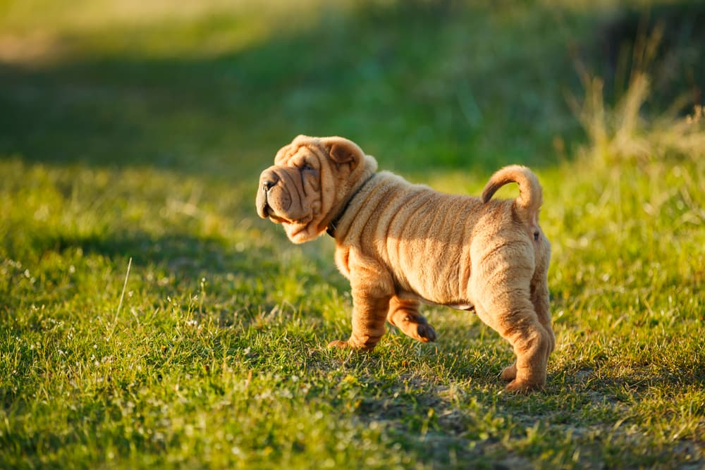Shar Pei puppy stands on the lawn and looks out for something
