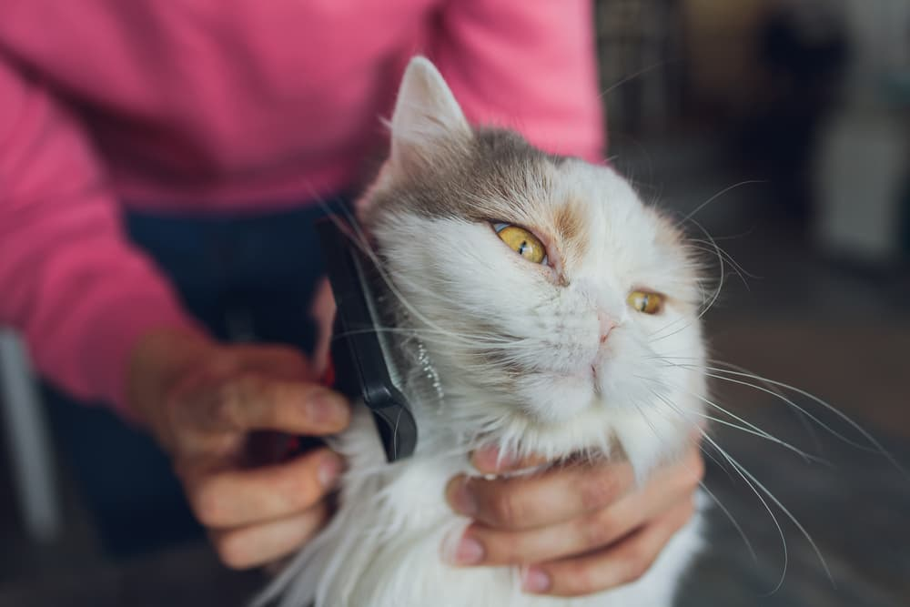 Cat being brushed by owner