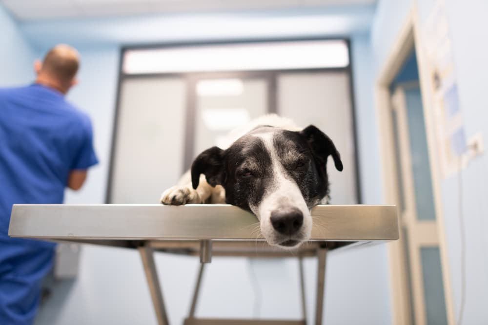 Black and white dog asleep on the table with the doctor in the background