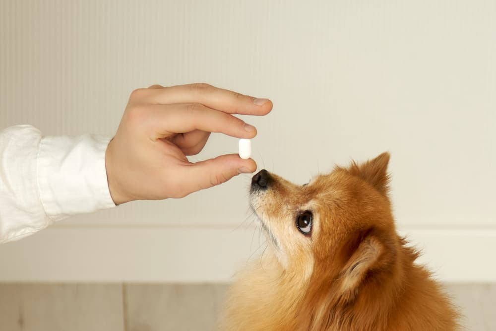 A German spitz receives a vitamin from the owner's hands