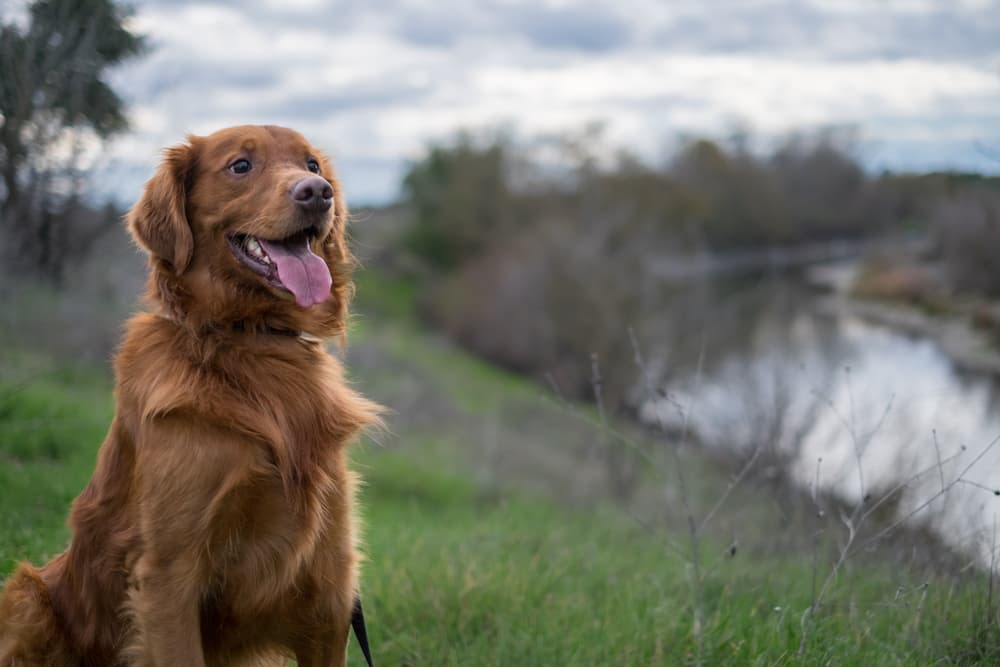 Bright Red Golden Retriever Dog By the River
